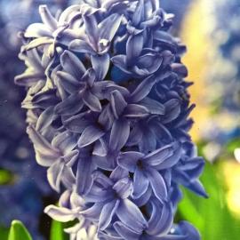 Hiacynt Delft Blue 3szt