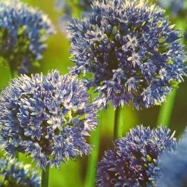 Czosnek Błękitny - Allium Caeruleum 10szt