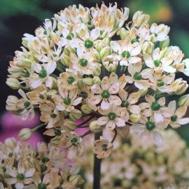 Czosnek Nigrum - Allium 3szt