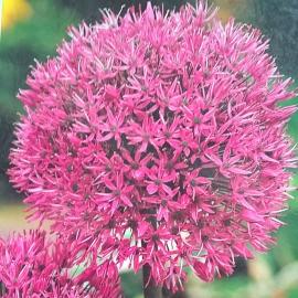 Czosnek Aflatuneński - Allium Aflatunese  3szt